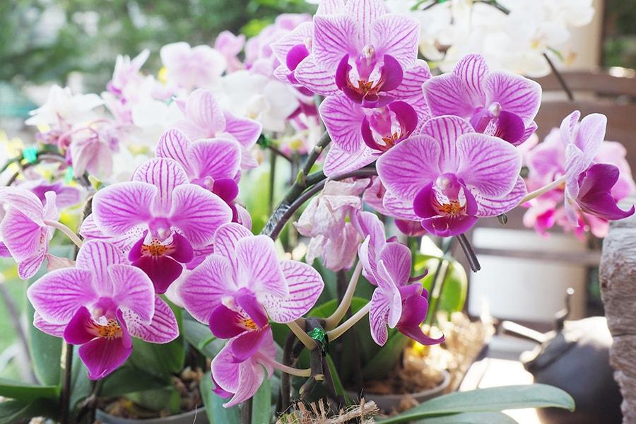 orchideess pouce vert perwin
